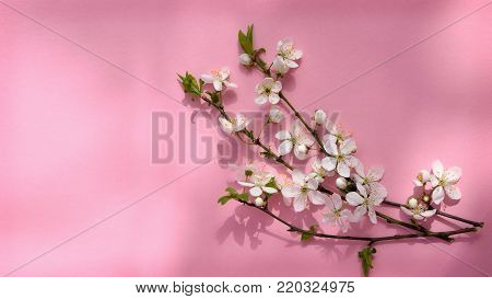 spring cherry blossom. branch of blossoming cherry on a pink background. Spring background. nature blossoms.Top view.