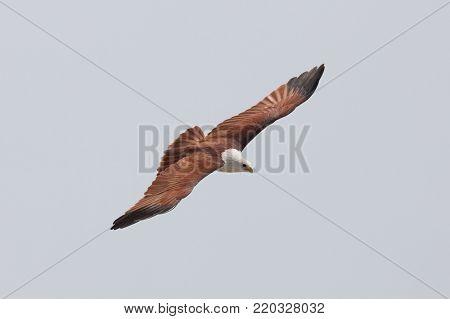 Red-backed sea eagle (Haliastur indus) in flight
