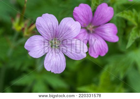 Purple flowers of Wild Geranium maculatum close up. Spring nature, spring garden. Geranium maculatum, the (wild geranium, spotted geranium, or wood geranium, is a perennial plant native to woodland