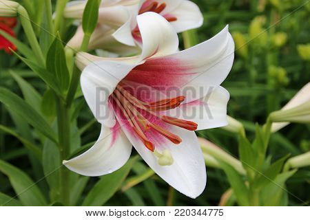 A large white lily. A large lily with a pestle and stamens. A large flower in the summer garden.