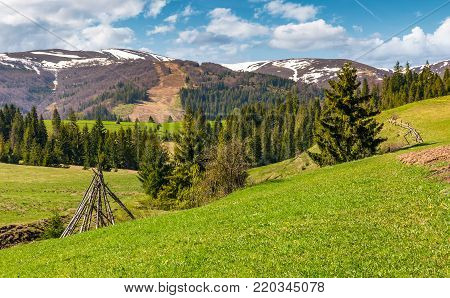 rural fields near the spruce forest in mountains with snowy tops. lovely springtime nature scenery of Carpathian mountains