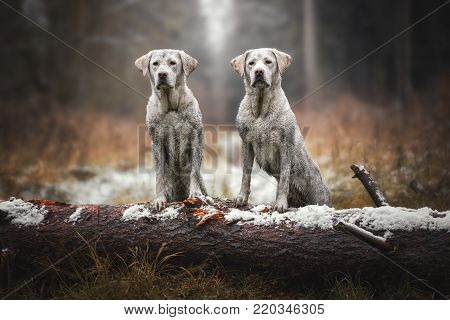 two young dirty labrador retriever dogs puppies full of mud playing in the forest
