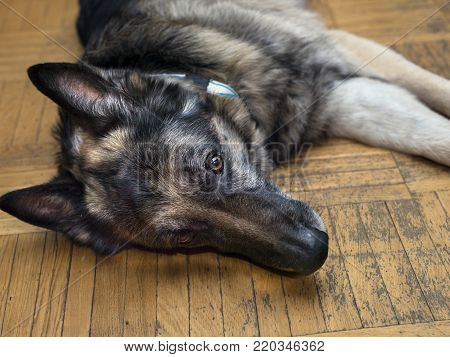 Carefree lazy dog relaxing on the floor with attentively look, indoor closeup