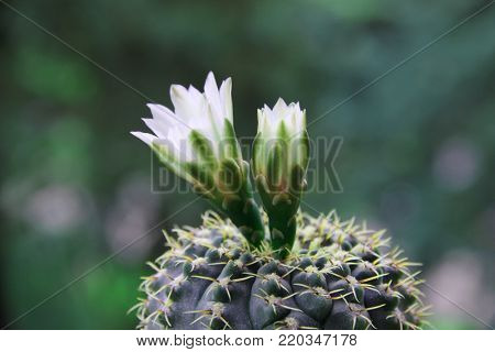 Cactus Gymnocalycium  with white flowers and short prickles.