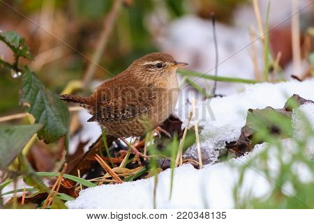 A wren foraging on frozen, snow covered ground in winter