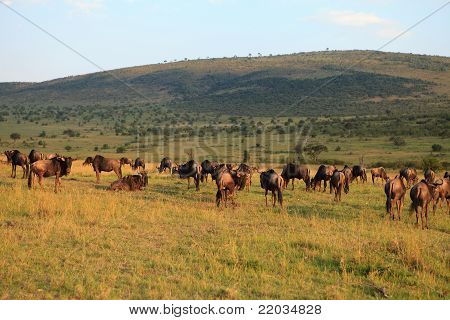 Wildebeest In Evening Red