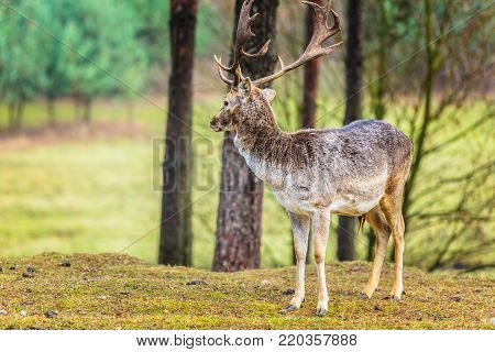 Majestic powerful adult male red deer stag in autumn fall forest. Animals in natural environment, beauty in nature.