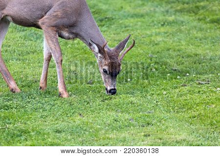Young Deer Buck grazing grass at Point Defiance Park in Tacoma Washington