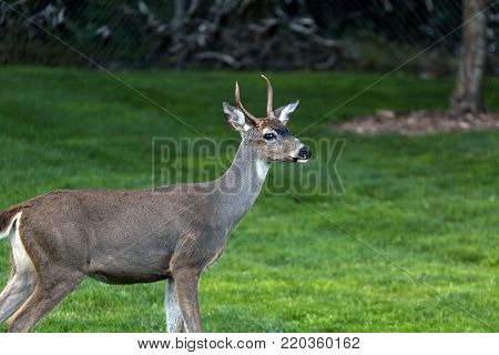 Young Deer Buck standing pose at Point Defiance Park in Tacoma Washington