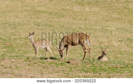 male (buck) Whitetail deer (odocoilus virginianus) with other deer