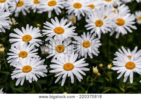 chamomile flowers with long white petals and a yellow center in the center on the green background in clear summer day