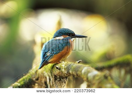 Alcedo atthis. It occurs throughout Europe. Looking for slow-flowing rivers. And clean water. The wild nature of Europe.