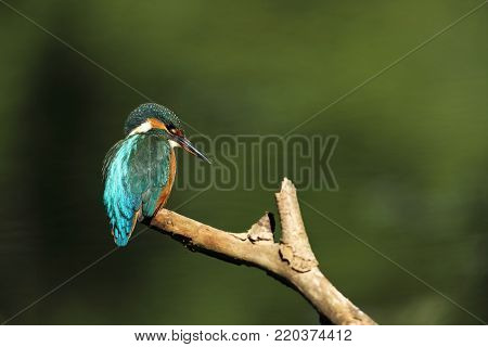 Alcedo atthis. It occurs throughout Europe. Looking for slow-flowing rivers. And clean water. The wild nature of Europe