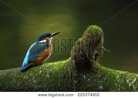 Alcedo atthis. It occurs throughout Europe. Looking for slow flowing rivers. And clean water. A rare bird.