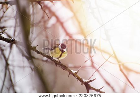 Titmouse with bright plumage sitting on a tree branch. Winter time background