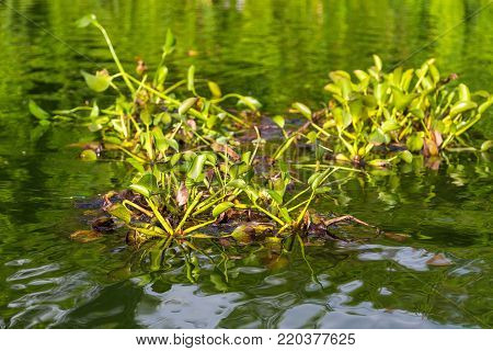 Water plant in the Phewa Lake. Phewa Lake is the most popular and most visited lake of Nepal.