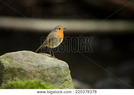 Erithacus rubecula. European small bird, ubiquitous throughout Europe. Besides the north of Scandinavia, it is also found in north-west Asia and North Africa. Free nature. The wild nature of the Czech Republic. Beautiful photo. Stream. Water.