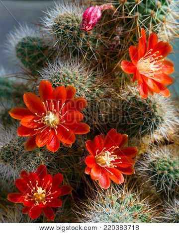 Cactus Aylostera with red flower and white prickles.