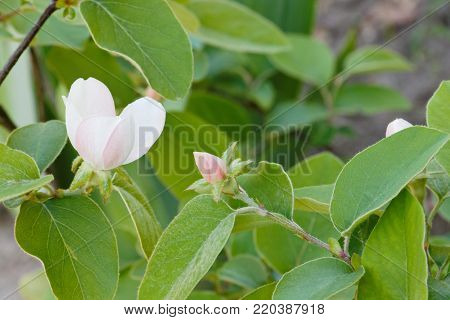 Blossoming of a quince. Cydonia oblonga blossom. Flowering branch of a quince on a green background.