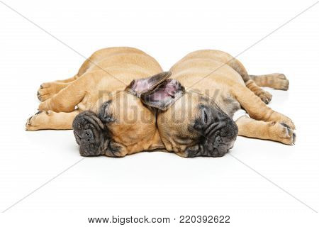 beautiful french bulldog puppies sleeping. adorable little dogs. copy space. isolated on white background.