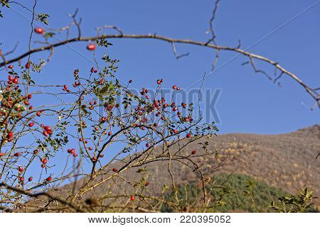 Rosehip on branch with blurred hill background on blue sky background