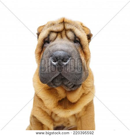 beautiful shar pei puppy isolated on white background. copy space.