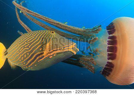 Orange-lined Triggerfish fish eating jellyfish