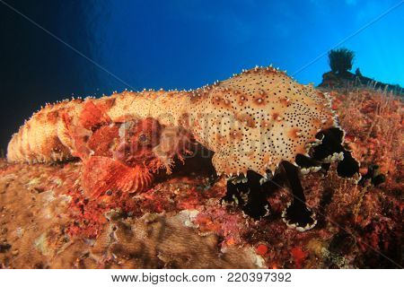 Sea Cucumber and Scorpionfish