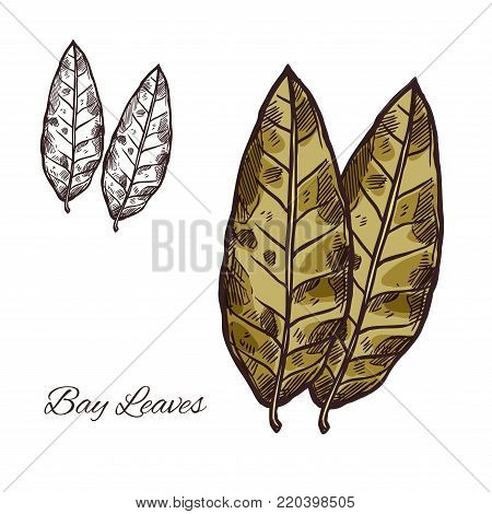 Bay leaf sketch of spice and culinary herb. Green bay leaf of laurel tree isolated icon of spicy cooking ingredient, food seasoning and flavoring for food packaging and spice shop design