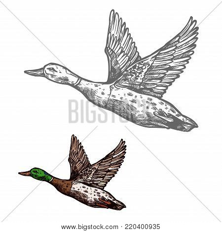 Duck waterfowl bird isolated sketch of wild or farm animal. Duck flying up, fowl or mallard with green feather on head for hunting sport emblem or wildlife symbol design