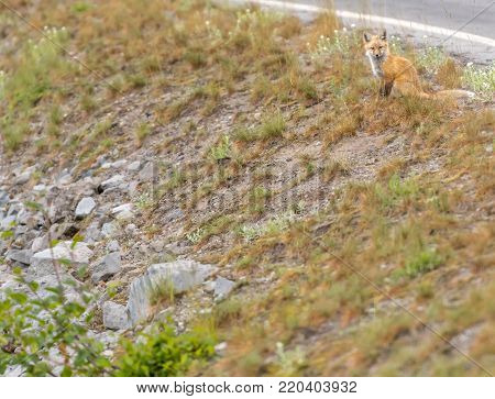 Young Cascade Red Fox At Top of Embankment along roadside