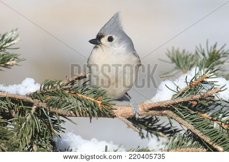 Tufted Titmouse (baeolophus bicolor) on a tree with snow