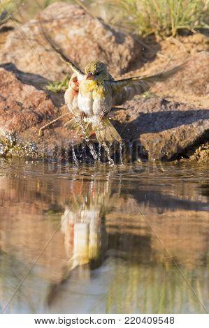 Southern Masked Weaver females having a bath in a waterhole in the Kalahari desert