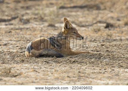 Black Backed Jackal lay down to rest in the Kalahari