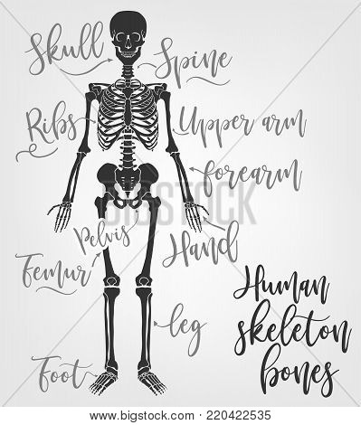 Human Skeleton Bones. Vector Illustration In Flat Style With Handwritten Bones Names Isolated On A L