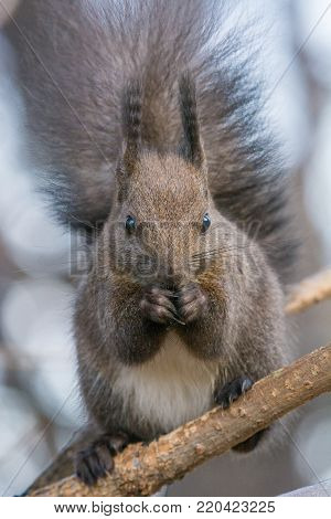 Close up of a squirrel on a perch facing the camera while eating sunflower seeds