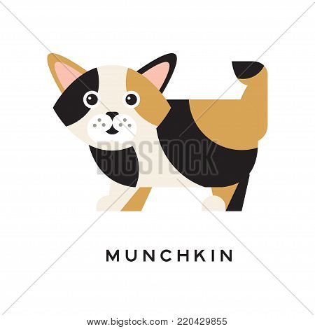 Munchkin kitten with funny muzzle. Cartoon domestic cat character. Wonderful creature with tricolor fur black, brown, white and short paws. Isolated flat vector design for pet shop or vet clinic.