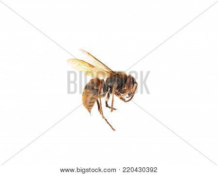 Colorful and crisp image of european dead hornet on white background