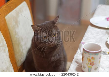 The Scottish brown chocolate cat sits on a chair near the dinner table with an angry look and also wants to eat. Dissatisfied cat.