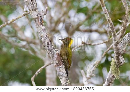 Female Lesser Yellownape woodpecker green bird pecking on tree truck with blurred background at fraser's hill, Malaysia, South east Asia (Picus chlorolophus)
