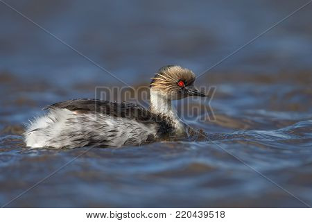Close up of silvery grebe swimming in freshwater lake in summer, Falkland Islands.