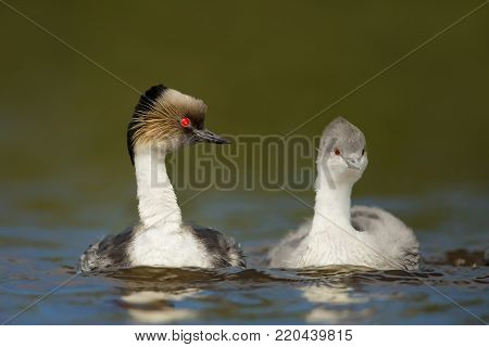 Silvery grebe Podiceps occipitalis, pair, swimming in freshwater lake in summer, Falkland Islands.