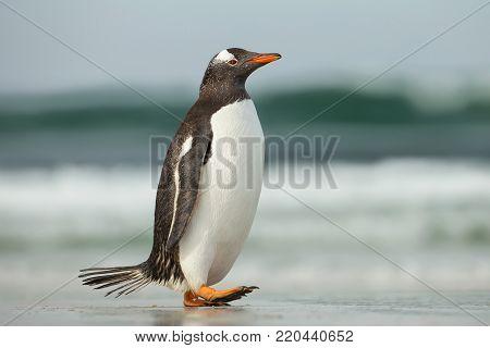 Gentoo penguin walking on a sandy ocean shoreline, Falkland Islands.
