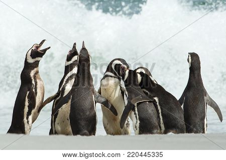 A group of Magellanic penguin gather on a coast of Falkland islands. Penguin calling and displays his dominance.