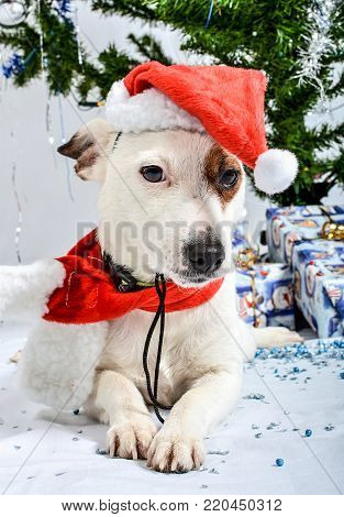 Christmas dog with presents lying under the tree.