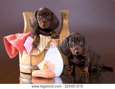 puppy bath time - Dachshund puppy in wooden wash basin