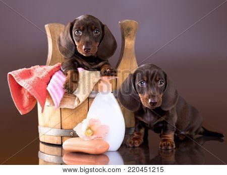puppy bath time - Dachshund puppy in wooden wash basin