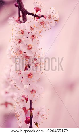 Blurred out-of-focus cherry-tree flowers in the morning mist as a blurred pink floral background (very shallow DOF, selective focus), copy space on the right