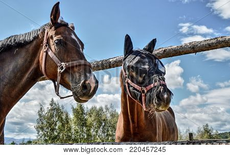 Two nice brown horses in the corral.