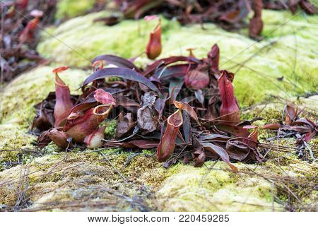 Tropical pitcher plants or monkey cups in national park.